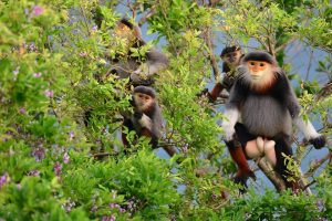 Phát hiện cá thể Chà vá chân nâu bị săn bắn ở Vườn quốc gia Bạch Mã