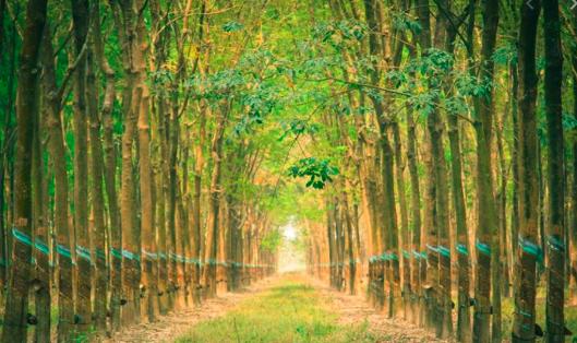Trao Chứng chỉ quản lý rừng bền vững của Việt Nam cho hơn 11,4 nghìn ha rừng cao su